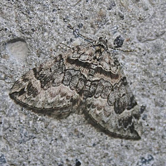 moth - Dysstroma hersiliata