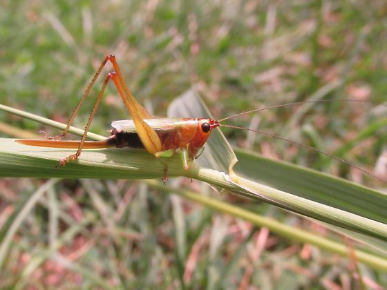 Conocephalus nigropleurum - female