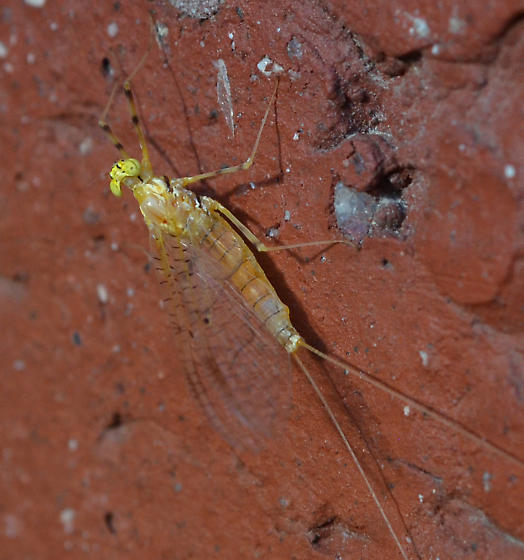 Mayflies at University of Rochester