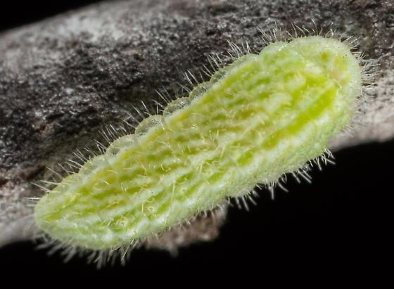 Mountain Mahogany Hairstreak Larva 3rd Instar - Satyrium tetra