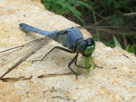 Dragonfly having lunch - Erythemis simplicicollis - male