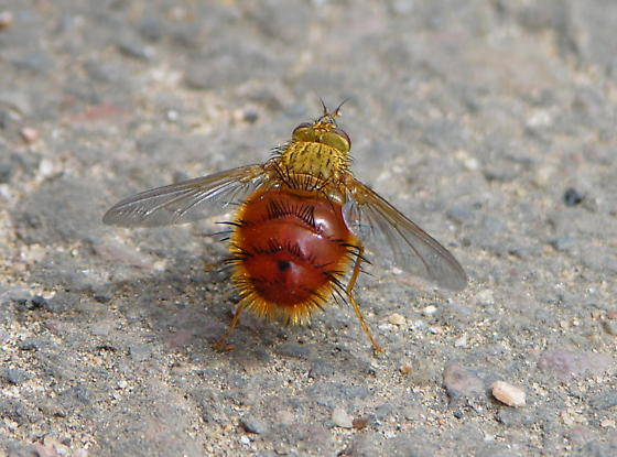 lg red fly - Adejeania vexatrix