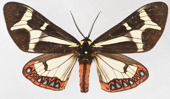 Moth, dorsal male - Dysschema howardi - male