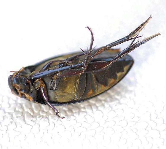 Bug (deceased) - Hydrophilus triangularis