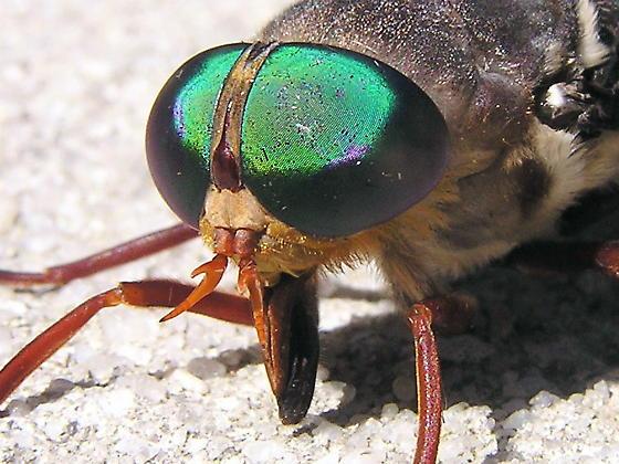 One Huge Fly! - Tabanus americanus