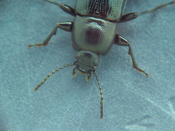 Black tenebs - Centronopus calcaratus
