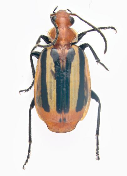 Carabidae, dorsal - Lebia vittata
