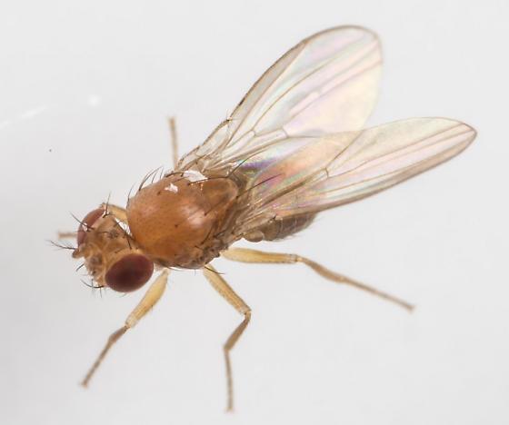 Drosophilidae ? - Microdrosophila quadrata