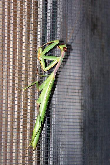 Mediterranean mantis? - Iris oratoria