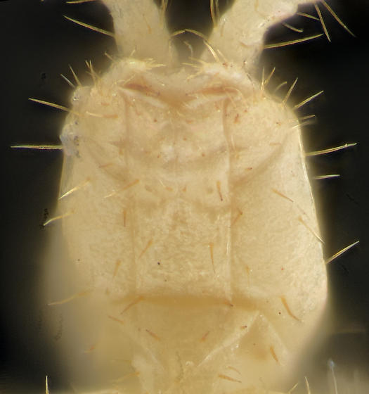 Forcepstails, ventral head - Parajapyx isabellae