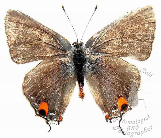 Grey Hairstreak - Strymon melinus - male