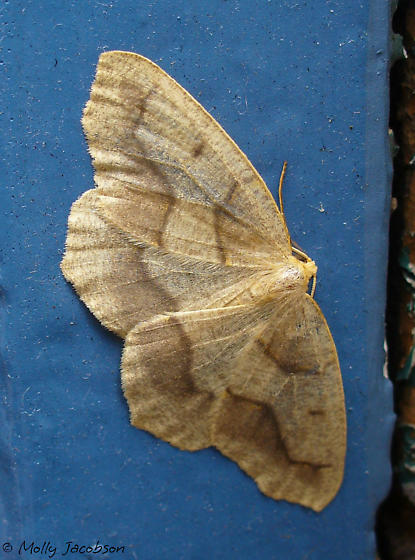geometrid - Lambdina fiscellaria - male