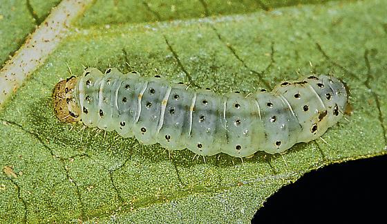 Calledapteryx dryopterata