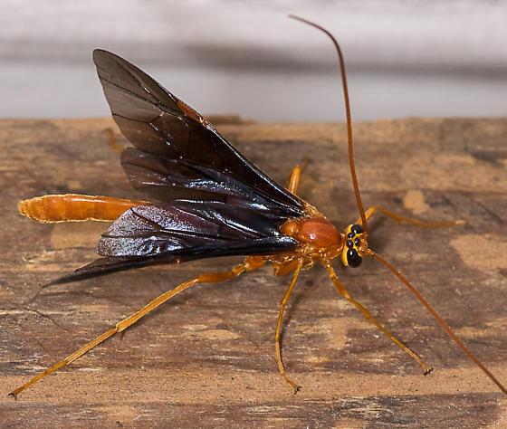 wasp072015 - Ophion slossonae