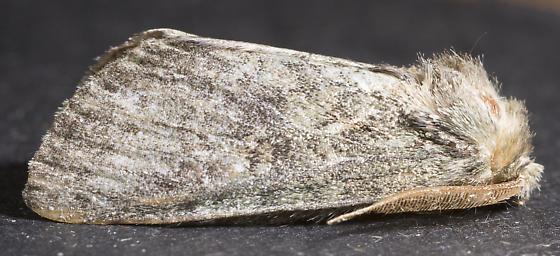 Notodontidae - male