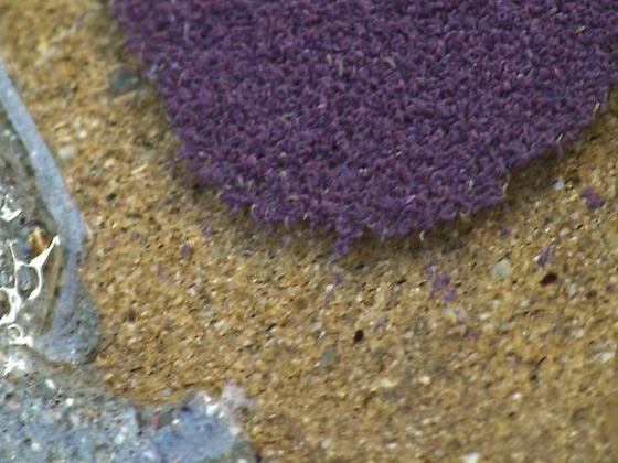 Purple Larvae - Hypogastrura