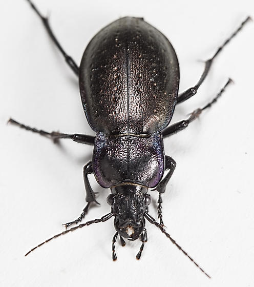 Beetle - Carabus nemoralis