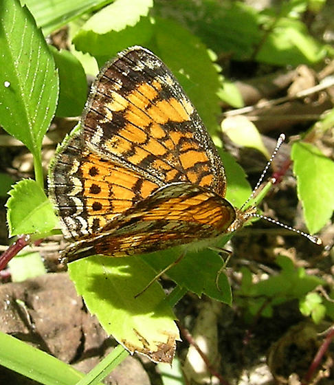 Butterfly - Phyciodes tharos