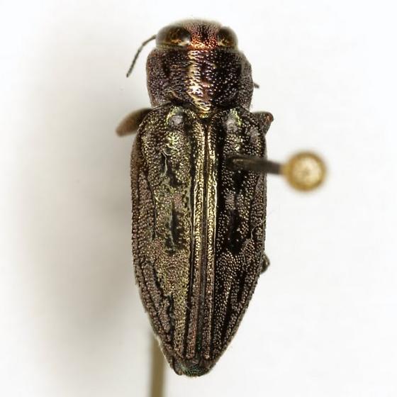 Chrysobothris texana LeConte - Chrysobothris texana