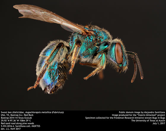 Sweat bee (Halictidae, Augochloropsis metallica (Fabricius)) - Augochloropsis metallica