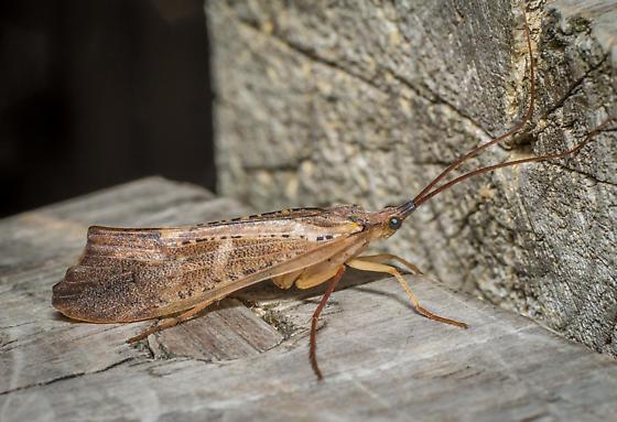 Bug - Nemotaulius hostilis