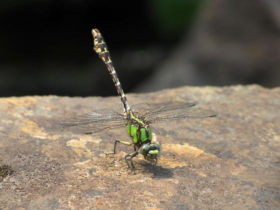 Boreal Snaketail - Ophiogomphus colubrinus - male