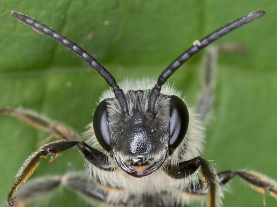 Male Andrena crataegi? - Andrena crataegi - male