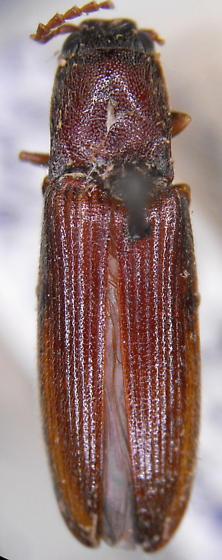 Athous fossularis (LeConte) - Athous fossularis