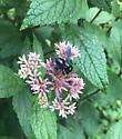 Carpenter Bee? - Megachile xylocopoides