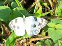 Checkered White - Pontia protodice - female
