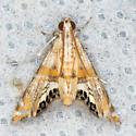 #4772 - Petrophila cappsi? - Petrophila cappsi
