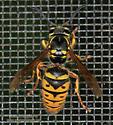 Ancistrocerus albophaleratus ? - Vespula flavopilosa - female