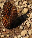 Butteryfly 3 (Timothy Lake) - Speyeria hydaspe - female