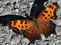Gray Comma butterfly (not Eastern or Question Mark) - Polygonia progne