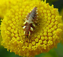 Green Lacewing larva - Chrysoperla rufilabris