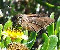 unidentified skipper at Bahia Honda State Park, Florida Keys - Asbolis capucinus