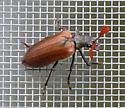 Cedar Beetle (Sandalus niger) - Sandalus niger
