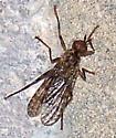 Pyrgota maculipennis - Boreothrinax maculipennis