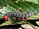 Azalea Caterpillar - Datana major