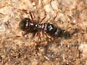 queen ant - Aphaenogaster - female