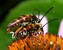 Typocerus velutinus - Banded Longhorn - Typocerus velutinus - male - female