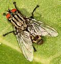 Flesh Fly - Sarcophaga