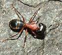 Cool Ant - Camponotus novaeboracensis - female