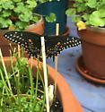 Black Female Swallowtail - Papilio polyxenes - female