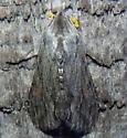 8/22/2021 moth - Cucullia