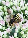 Anthidium oblongatum wool carder?   - Anthidium oblongatum
