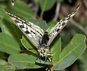 Face on View - Parnassius clodius - female