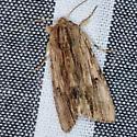 Gray-streaked Armywom Moth - Hodges #9673 - Spodoptera albula