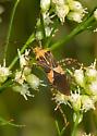 Unknown Mirid - Hypselonotus