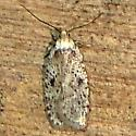 Micro Moth - Agonopterix pulvipennella